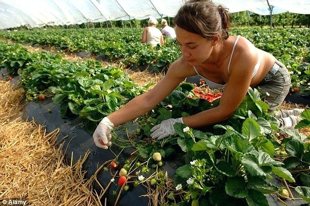 How to Have a Successful Strawberry-Growing Season