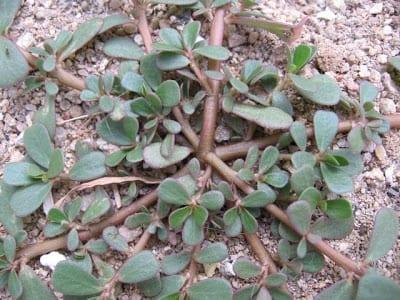 Cucumber Weeds