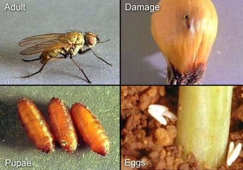 THRIPS AND MAGGOTS