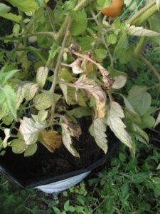 Verticillium Wilt of Tomato