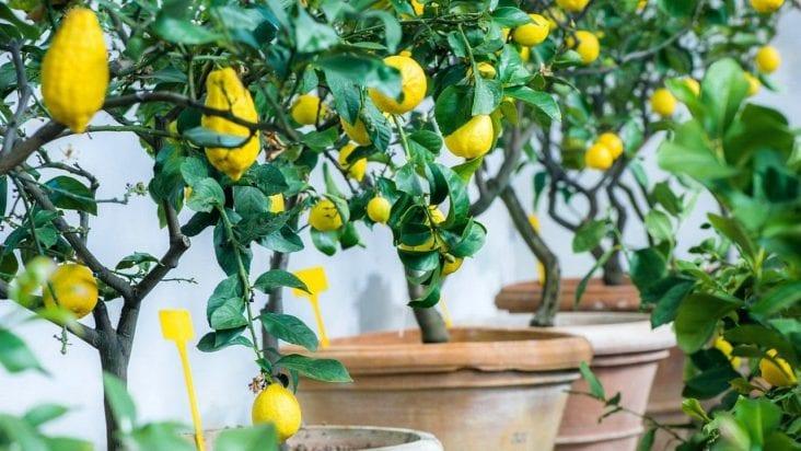 Here Is How to Grow a Lemon Tree
