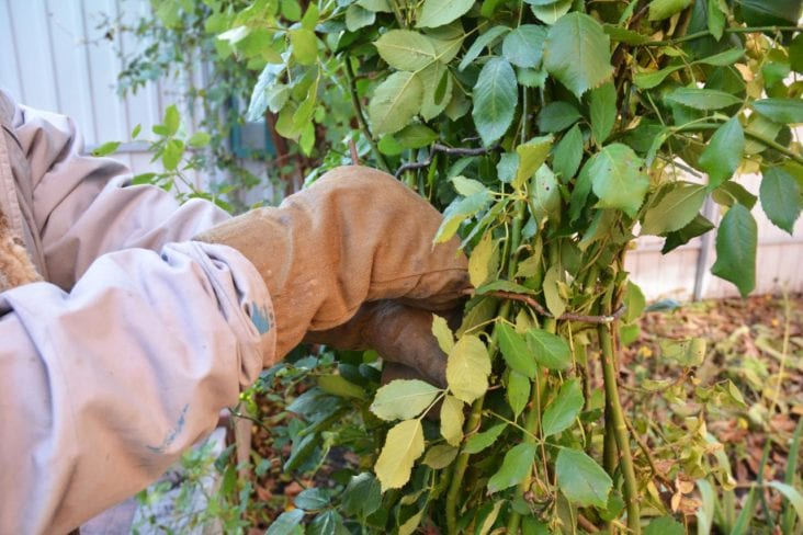 Protecting Roses from Weather and Disease