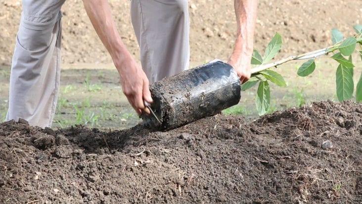 plant avocado tree